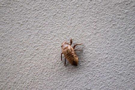 a cicada larvae climbing a white wall 写真素材