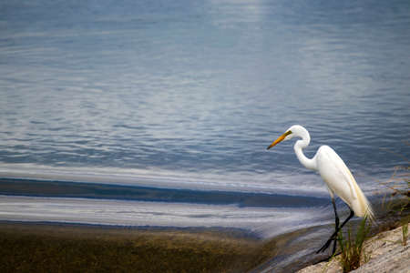 White egret standing at the riverbank