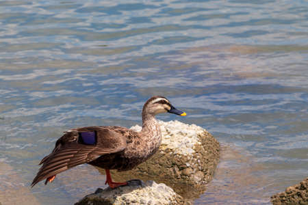 A duck drying its wings on a rock