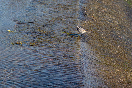A wagtail nestled in the shallow water of the river