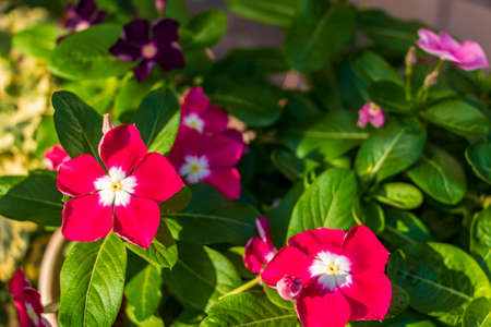 Red flowers of Madagascar periwinkle