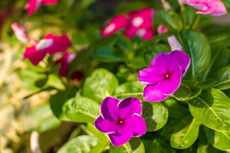 Madagascar periwinkle flowers shining in the sunlight