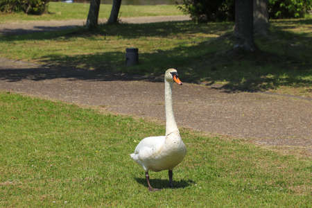 A swan walking on the grass