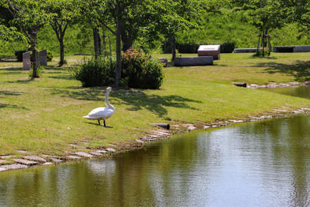 A swan by the pond