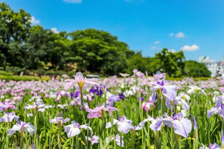 Japanese iris garden at Tsudo-Shiroyama Kofun in Fujiidera, Osaka