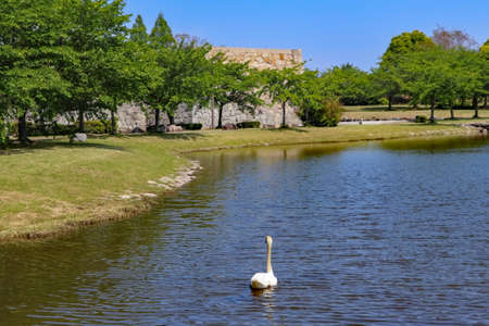 A swan floating on the pond at the garden