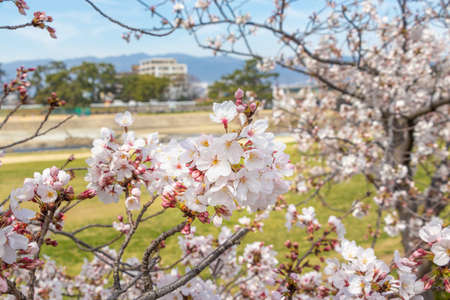 Cherry blossoms blooming in the park along the river