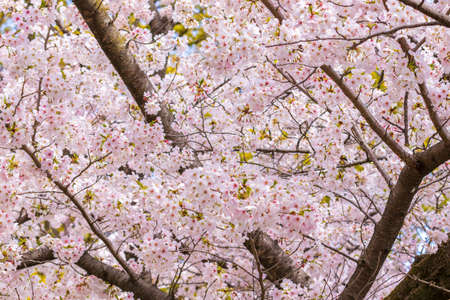 Pink cherry blossoms in full bloom Imagens