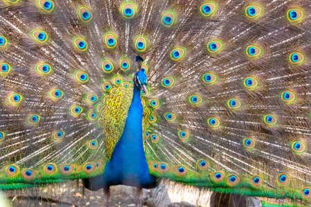 A peacock spreading beautiful wings Reklamní fotografie