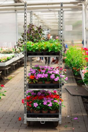 Rows of various flowers in pots, grown in a greenhouse. Plants are ready for export.