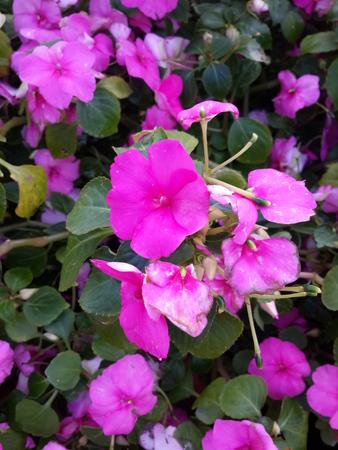 magenta flowers: Magenta Flowers in the Garden
