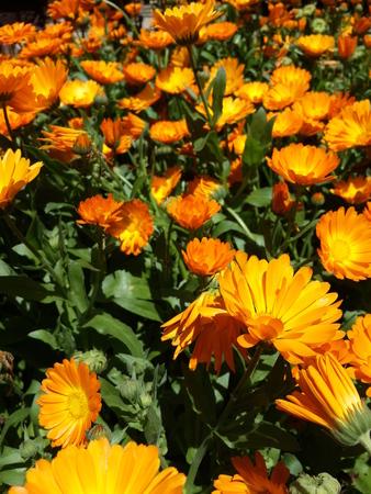 yellow blossom: Yellow Blossom Flowers
