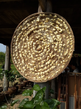 capullo: Gusano de seda del capullo Nido