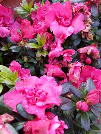 magenta: Magenta Flowers