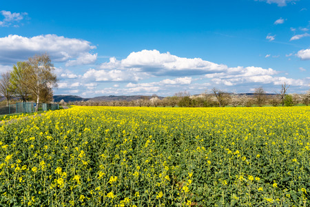 Ripened rapeseed on a field in western Germany, in the background a blue sky with white clouds. Reklamní fotografie