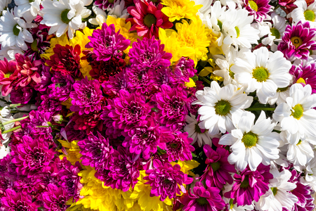 Background made of beautiful, colorful flowers of chrysanthemums and margaret. Imagens