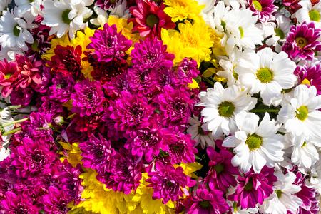 Fondo de hermosas y coloridas flores de crisantemos y margarita. Foto de archivo