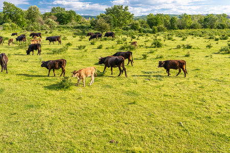 A herd of cattle Heck, grazing in a clearing on a sunny spring day in western Germany.