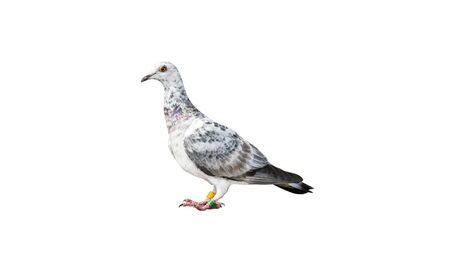 Bird of the species Italian Owl pigeon in white and black color, isolated on a white background with a clipping path. Stok Fotoğraf