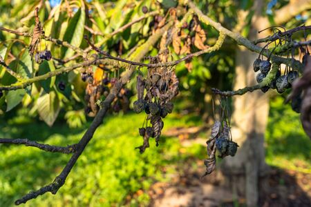 Dried and moldy cherries due to hot weather, no rainfall in western Germany, broken branches. Banco de Imagens