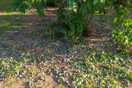 Uncollected plums lying under a tree, damaged crop of purple plums in western Germany.