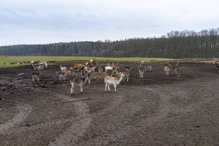 A large herd of deer and fallow deer in a closed farm in the field.