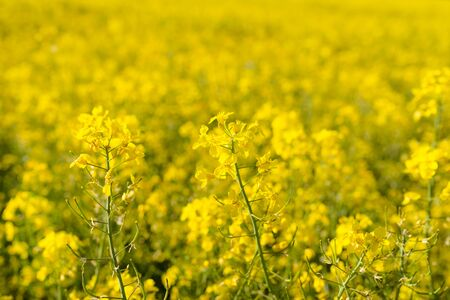 Ripening rapeseed flower close up, in the background a field of rapeseed, on a beautiful sunny day, natural light.