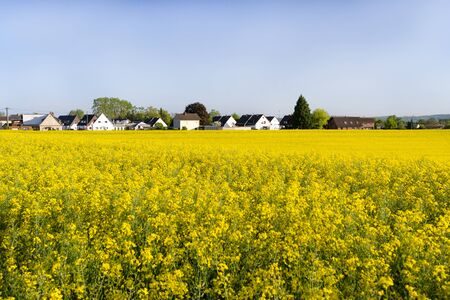Ripened rapeseed on a field in western Germany, in the background a blue sky, natural light. Stock Photo