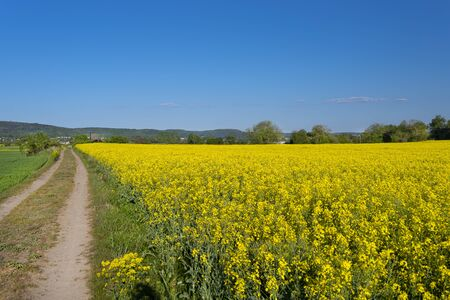 Ripening oilseed rape in a field in western Germany, dirt road visible, blue sky in the background, natural light.