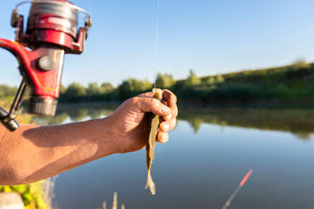 The fisherman takes a crucian fish from a fishing hook, visible hands of a man and a pond in the background.