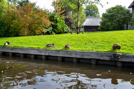 Mallard ducks standing on the bank of the canal, visible buildings and lawns. 版權商用圖片 - 158006185
