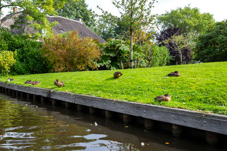 Mallard ducks standing on the bank of the canal, visible buildings and lawns.