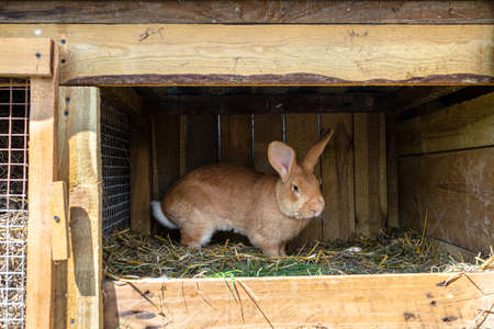 Close up shot of a red-haired farm rabbit standing in a wooden cage.