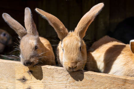 Several red-haired breeding rabbits standing in a wooden cage. Stockfoto
