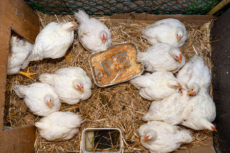 Leghorn chickens in a small pen with silver grain tray, top view.