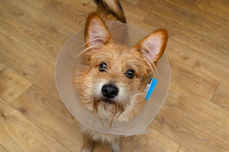Raceless dog standing in a room with a transparent protective collar around his neck.
