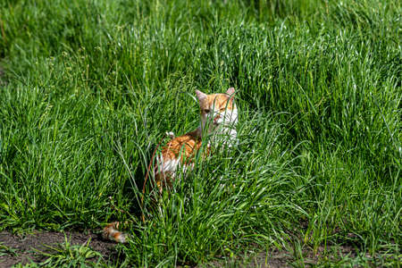 A white and red cat sitting in tall grass in a country yard.