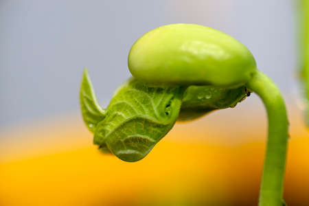Macro photo of sprouting white beans with wrapped leaves against a gray-yellow background.