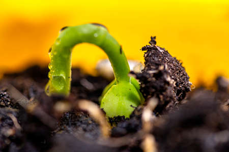 Macro photo of sprouting white beans with wrapped leaves coming out of the ground in a yellow pot. Stockfoto