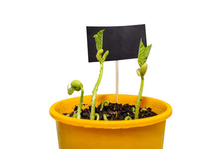 Sprouting white beans in a yellow pot in the background a black tag for text, isolated on a white background with a clipping path.
