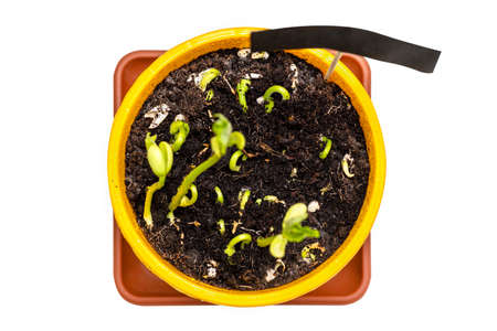Sprouting white beans in a yellow pot witah a black tag for text, isolated on a white background with a clipping path, top view.