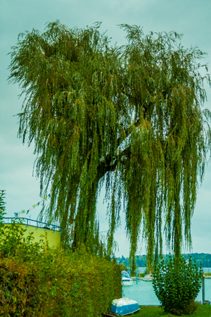 weeping willow on lakeside of lake Konstanz