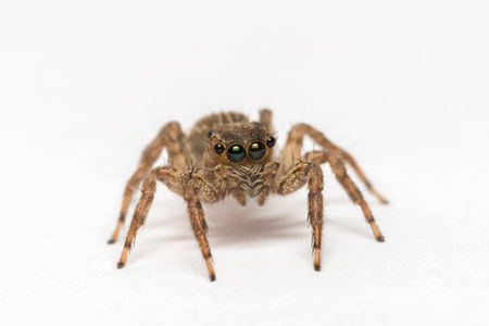 jumpping spider on white background Stock Photo