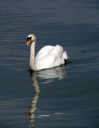 A white swan swimming in a lake                               photo