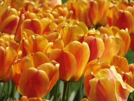 field of orange tulips                                  photo