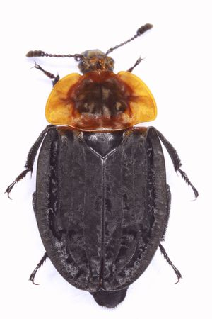 carrion: Oceoptoma thoracica carrion beetle isolated on white background