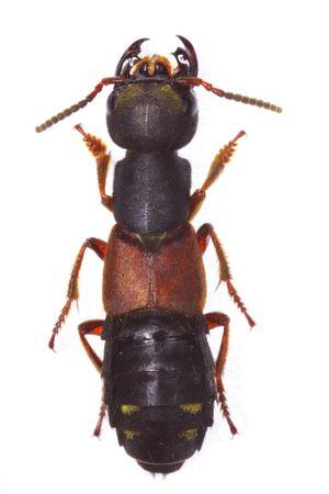 pubescent: Mounted Staphylinus erythropterus rove beetle isolated on white background Stock Photo