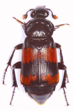 burying: Necrophorus investigator burying beetle isolated on white background Stock Photo