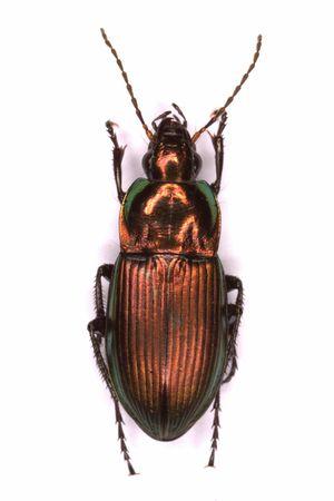 carabidae: Mounted Poecilus versicolor ground beetle isolated on white background Stock Photo