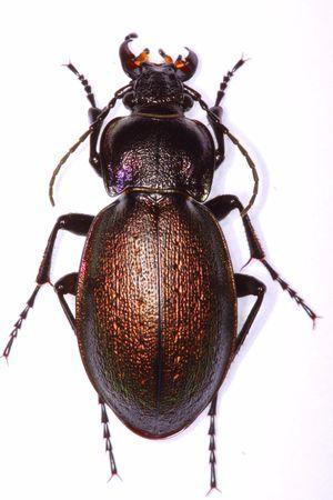 Carabus nemoralis ground beetle isolated on white background